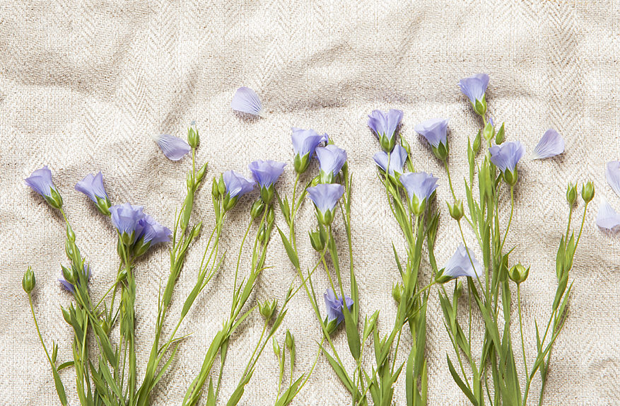 Fresh flax flowers on natural linen cloth.